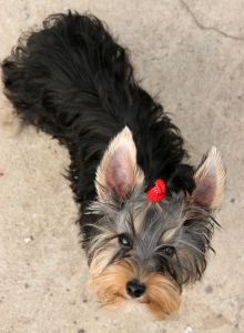 yorkie-looking-up-image