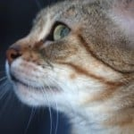 cat-in-profile-green-eyes-image