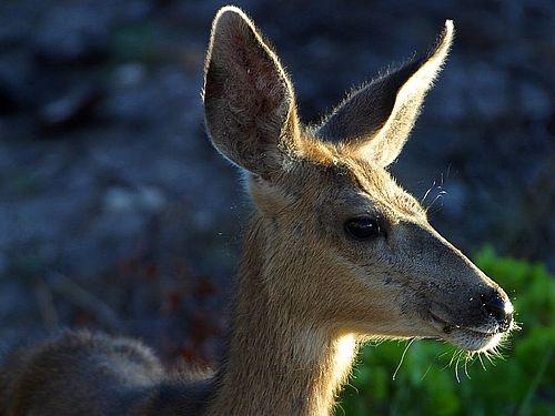 white-tail-deer-image