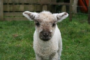 cute-fluffy-lamb-green-field-image