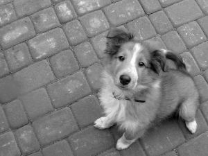 shetland-pup-looking-up-image