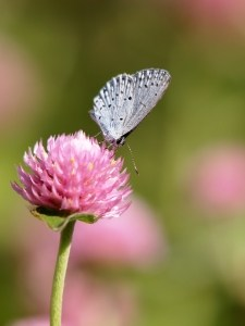 pink-clover-blue-butterfly-image