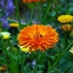beautiful-orange-marigold-calendula-field-image