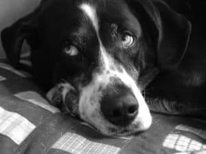 lazy-dog-black-and-white-image