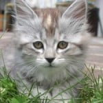 sweet-gray-cat-face-image