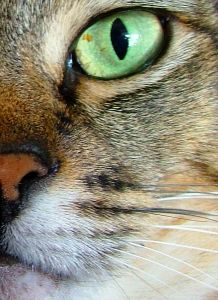 cat-close-up-green-eye-image
