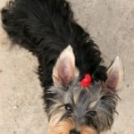 cute-yorkie-with-hairbow-image