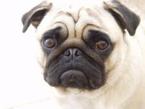 disappointed-pug-face-image