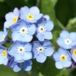 lovely-forget-me-nots-image