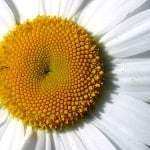daisy-detail-image