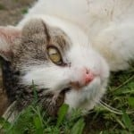 lovely_grey_white_cat_green_eyes-grass_image