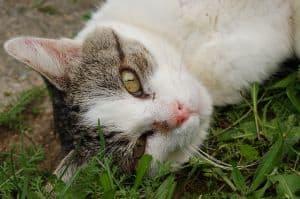 lovely_grey_white_cat_green_eyes-grass_image