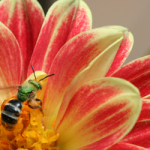 peach-yellow-flower-bee-image