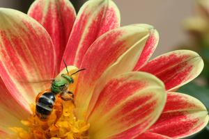 peach-yellow-flower-bee-image