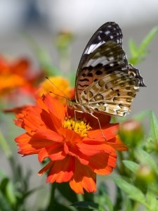 large-butterfly-on-orange-flower-image