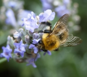 bumble-bee-purple-flowers-image