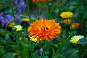 marigold-calendula-in-field-wildflowers-image
