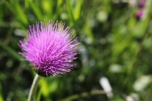 lovely-purple-thistle-green-image