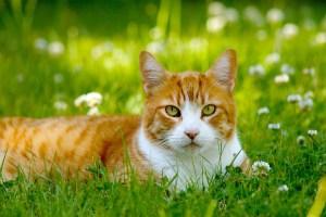 orange-cat-field-green-image