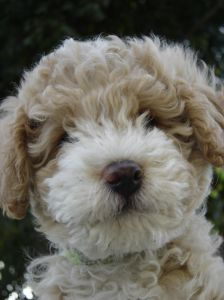 beige-white-fluffy-puppy-image