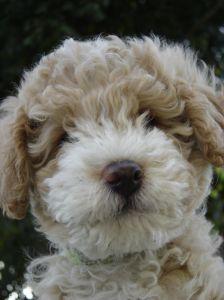 beige-white-fluffy-puppy-image