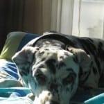 Dalmatian-on-blue-blanket-image