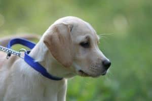 lab-puppy-blue-collar-image