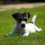 jack-russell-puppy-lying-in-grass-image