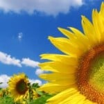 giant-sunflower-little-sunflower-image