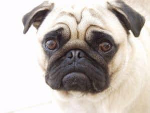 sad-little-pug-face-image