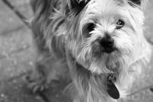 yorkie-black-and-white-cute-image