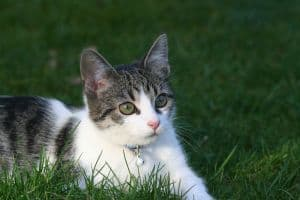 gray-white-kitten-green-eyes-grass-image