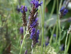 lavender-in-field-image