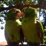 bright-green-love-birds-image