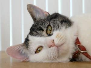 cat-peek-a-boo-white-gray-image