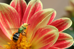 bee-in-flower-petals-image