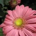 huge-pink-flower-petals-image