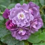 purple-roses-image