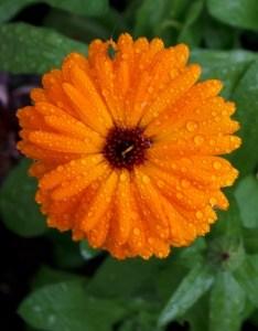 orange-daisies-on-green-image