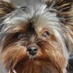 yorkie-dog-face-image