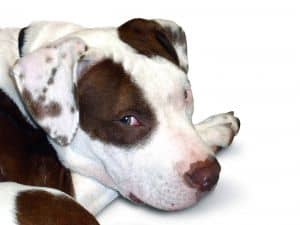 bulls-eye-white-brown-dog-image