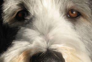 big-brown-eyed-doggie-image