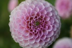 pink-puff-image