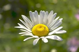 white-yellow-daisy-image