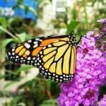 yellow-orange-butterfly-purple-flower-image