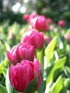 tiptoe-through-the-tulips-image
