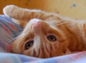 upside-down-orange-cat-image