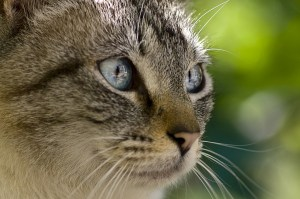 gray-cat-blue-eyes-green-background-image