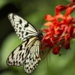 white-black-butterfly-orange-red-flower-image