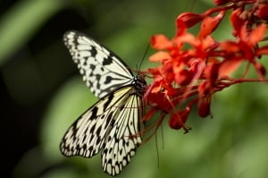 white-black-butterfly-orange-red-flower-image